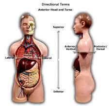 Directional Terms Human Anatomy Human Anatomy U0026 Physiology 1