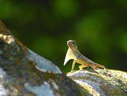 image of the Philippine flying lizard, borrowed from t0.gstatic.com