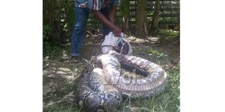 film ular phyton ular phyton sepanjang 7 meter ditangkap warga waspada online