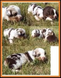 australian shepherd 3 weeks old mini aussie pup for sale 2014 litter 5 callie pup 1 red merle
