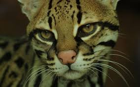 cats ocelots cats images of in halloween costumes for hd 16 9