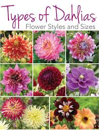 know your dahlias flower styles and sizes longfield gardens