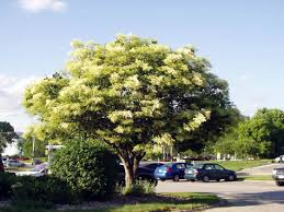 ivory silk japanese tree lilac miller nursery