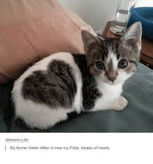 Cute Kittens Memes - cute my former foster kitten is now my frida stealer of hearts