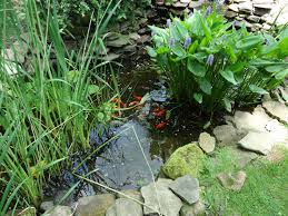 file fish in an outdoor pond in a garden jpg wikimedia commons