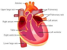 The Human Body Picture Heart Structure And Function Explained With Pictures And Video