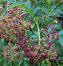 plants native to new england elderberries