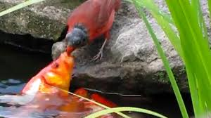 why is this bird feeding goldfish