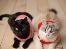 sweaters for cats sweaters for cats do they need them petmd