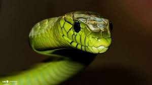 a green snake wallpapers free black mamba snake wallpaper apk download for android getjar