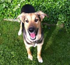 adopt a belgian sheepdog meet maco adopted a petfinder adoptable belgian shepherd