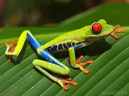 what is a tree frog with pictures