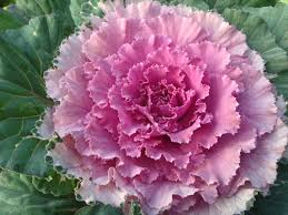 ornamental cabbage kale