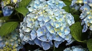 Hydrangea Flowers Free Photo Hydrangea Flower Free Image On Pixabay 1502613