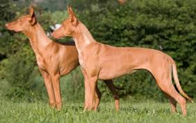 afghan hound good and bad pharaoh hounds what u0027s good about u0027em what u0027s bad about u0027em