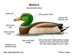 Mallard Duck Home Decor Male Duck Anatomy Gallery Learn Human Anatomy Image