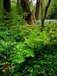 native plants in virginia golden groundsel carolyn u0027s shade gardens