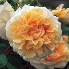pegasus repeat flowering popular searches