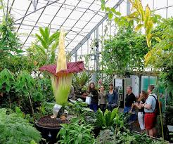 best 25 amorphophallus titanum ideas on pinterest corpse flower