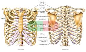 Anatomy Of Human Body Pdf Humerus Anatomy Tags The Human Body Arm Bones Anatomy Sternum