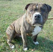 american pitbull a terrier pit bull rescue central