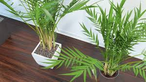 nasa approved this plant as best humidifying plant for your home