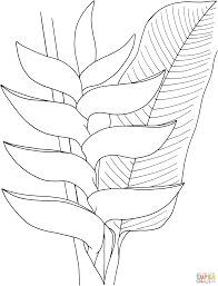heliconia flower coloring page free printable coloring pages