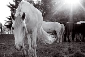 Massachusetts how far can a horse travel in a day images Blue star equiculture draft horse sanctuary in palmer massachusetts jpg