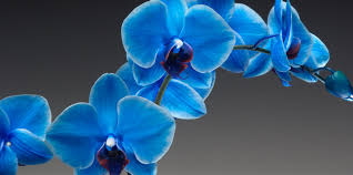 blue orchids westerlay orchids the gemstone collection infused phalaenopsis