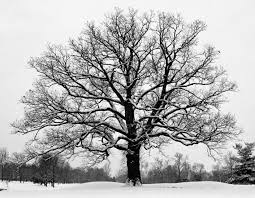 some oaks in the snow kurt m lawson photography