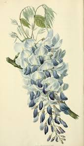 wisteria sinensis australian bush flower 27 best deco bez images on pinterest botany flowers and painting