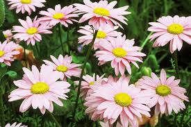 Daisy The Flower - selecting the right daisies for your flower garden