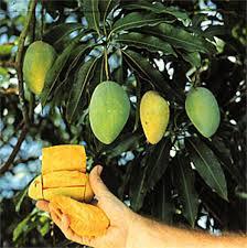 Mango Boom mango mangifera indica mijntuin org
