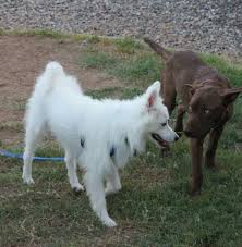 american eskimo dog small perry american eskimo mix m a i n medical animals in need