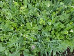 cover crop best bet is monoculture not mix center for