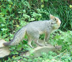 Delaware wild animals images Delaware state wildlife animal grey fox jpg
