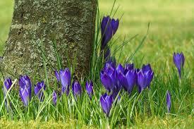 free photo garden flowers flower purple spring crocus max pixel