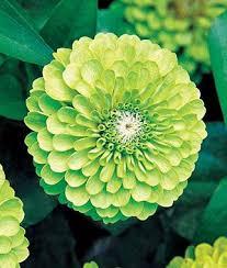 Lime Green Flowers - 81 best flowers green images on pinterest green flowers