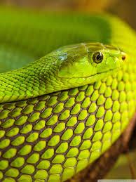 green snake macro hd desktop wallpaper high definition