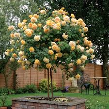 Patio Tree Roses by Standard Roses David Austin Roses