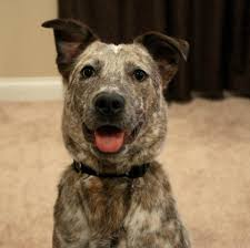 australian shepherd blue heeler interesting spotted dog pics