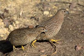 brown quail new zealand birds online