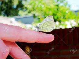 yellow and white butterfly on finger stock photo picture and