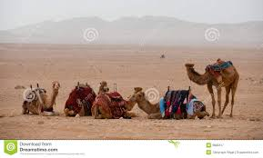 syrian desert camels in the syrian desert royalty free stock photography image