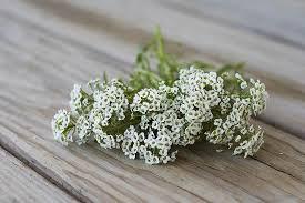 alyssum flowers carpet of snow alyssum