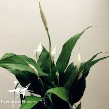 peace lilly large peace spathiphyllum plant executive flowers and gifts