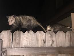 had some visitors in my backyard the other night cute animals