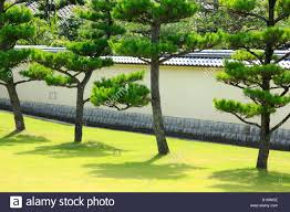 Japanese Garden Walls by Garden With Pine Trees And Japanese Traditional Roofed Stone Wall