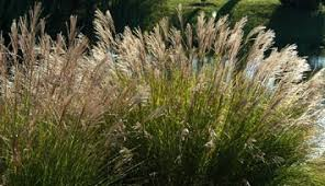 grasses ornamental a profile of a perennial plant howstuffworks
