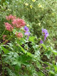shade plants ursula u0027s cambridge garden